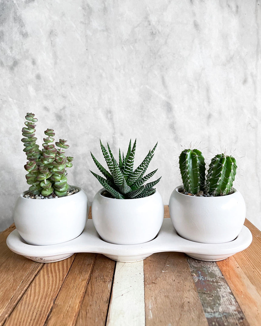 Soilmates! Trio planter + Succulents
