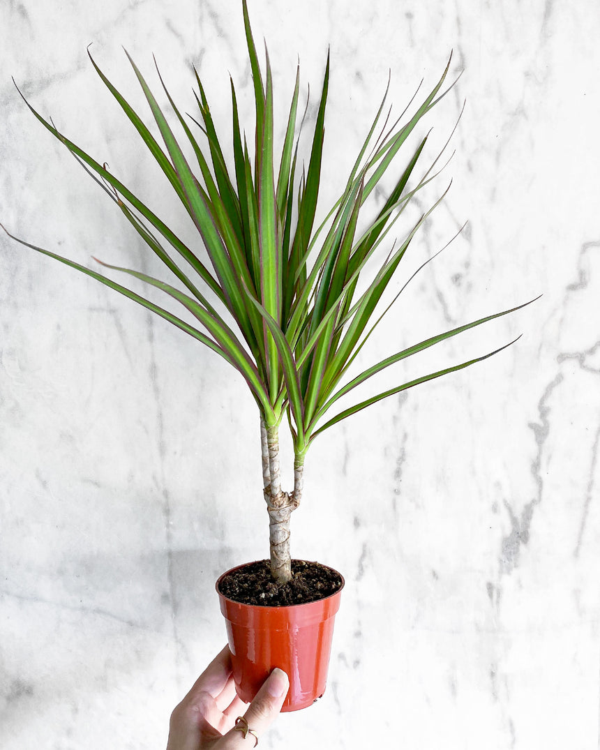 Dracaena Marginata 'Dragon Tree'
