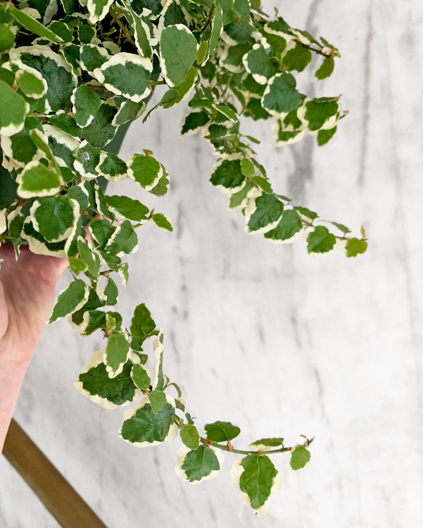 Variegted Ficus Repens 'Creeping Fig'