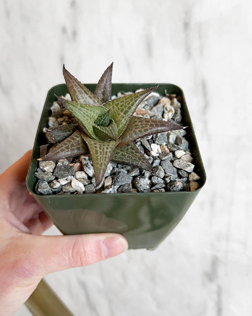 Haworthia Tessellata 4in