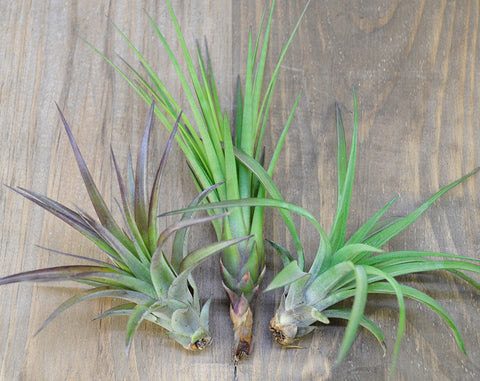 Lovely Ladies Air Plant Trio // Large