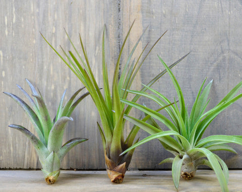 Lovely Ladies Air Plant Trio // Medium