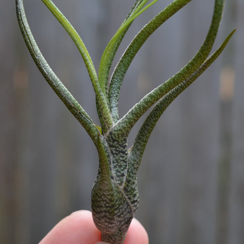 Tillandsia Butzii // Air Plant // Medium