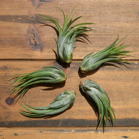 Tillandsia Ionantha Scaposa // Air Plant // Medium