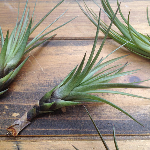 Tillandsia Tricolor // Air Plant // Medium