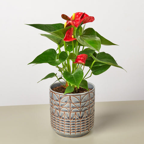 Anthurium 'Red'
