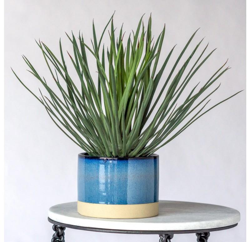 Hedgehog Yucca in Geode Blue Planter by Gold Leaf Design Group