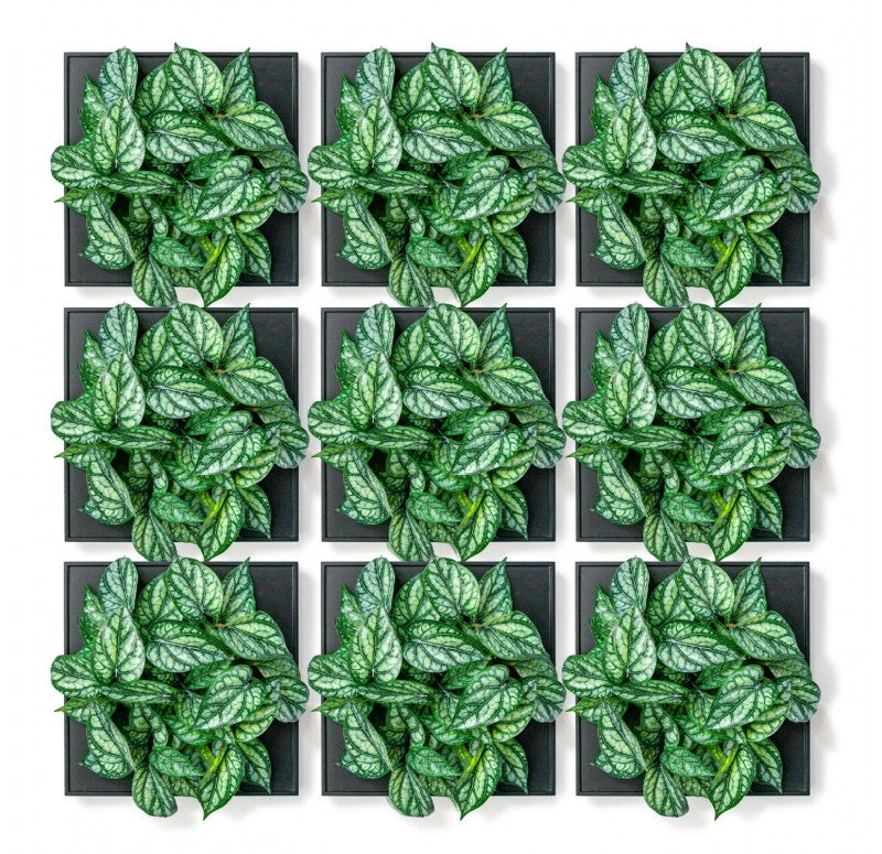 Mini Green Wall, Peperomia by Gold Leaf Design Group