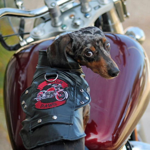 Looking Super Cool in a Black Biker Dawg Motorcycle Dog Jacket