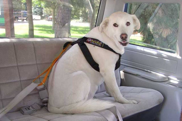 Dog sitting wearing the Roadie Canine Vehicle Safety Harness by Ruff Rider - UKUSCAdoggie
