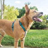 dog-wears-petsafe-3-in-1-harness-in-teal