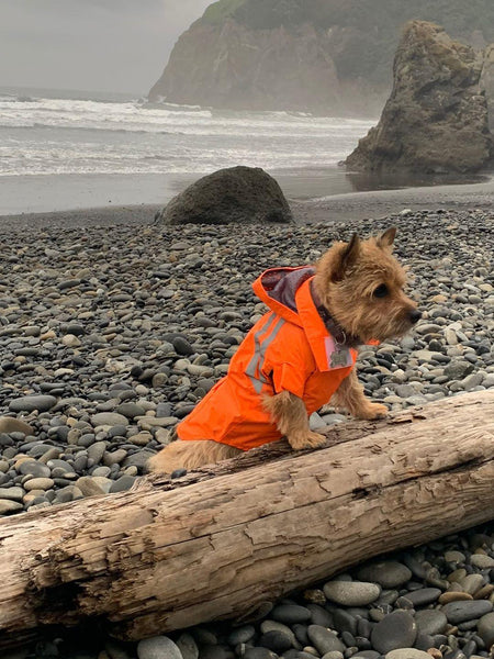lil-roo-the-norwich-terrier-sports-a-great-new-raincoat
