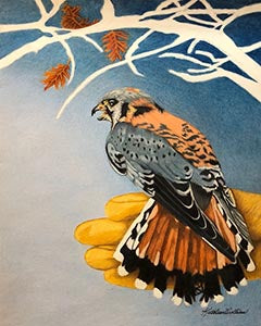 American Kestrel - Glen Helen - Colored Pencil Artwork by Kathleen Collins