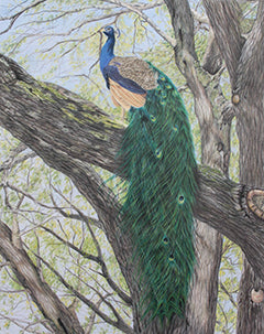 Majestic Roost - Colored Pencil Artwork by Kathleen Smith
