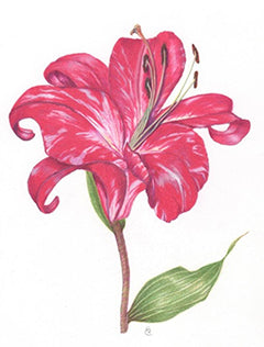 Lilium - Colored Pencil Artwork by Sandra Cumming