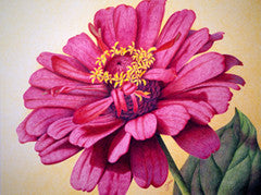 Zinnia #2 - Colored Pencil Artwork by Chris Zinn