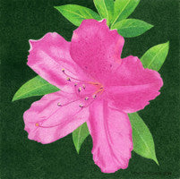 Carol's Azelia - Colored Pencil Artwork by Chuck Gluch