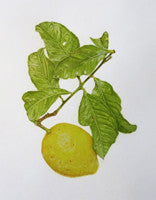 Citrus x limon (Lemon) - Colored Pencil Artwork by June Wright