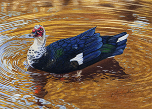 The Black & White Muscovy Duck in the Pond at Bower Park! by Rebecca V. O'Neil