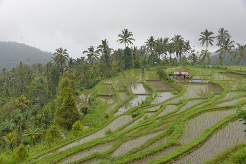 Munduk Rice Fields