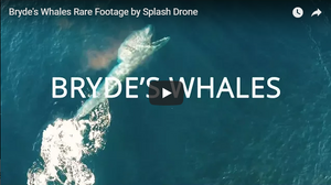 Splash Drone 3 Rare Footage of a Bryde's Whales