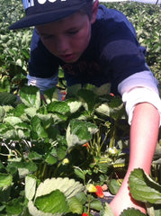 Strawberry picking fruit in season