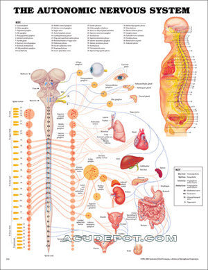 THE AUTONOMIC NERVOUS SYSTEM CHART