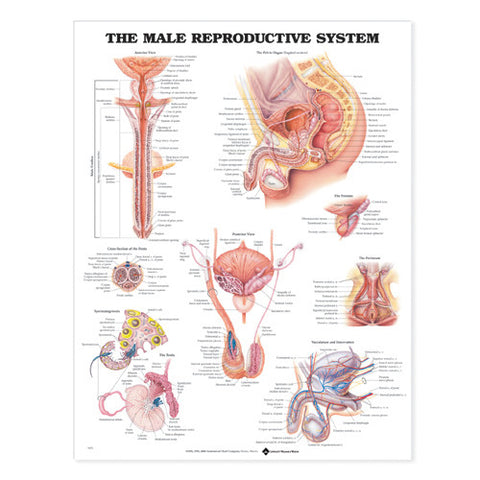 MALE REPORDUCTIVE SYSTEM
