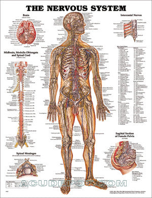 THE NERVOUS SYSTEM LAMINATED