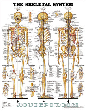 ANATOMICAL CHARTS-SKELETAL SYSTEM