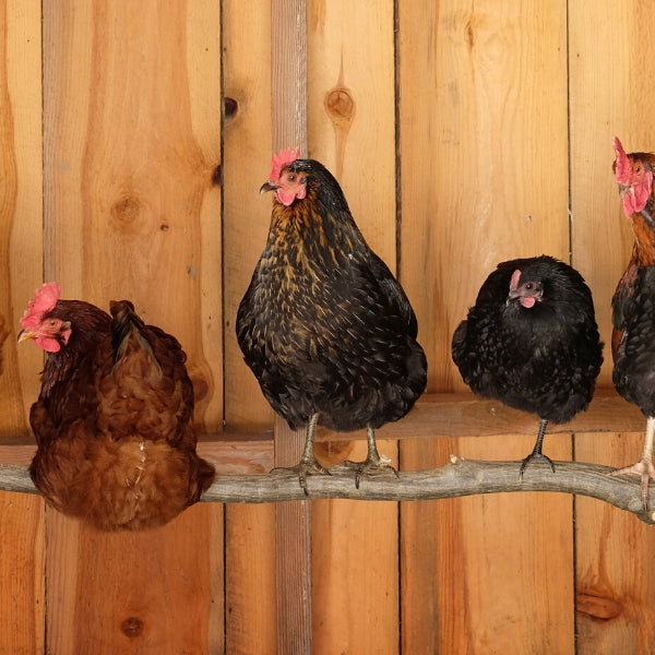 Chicken Coop Plans: Creating a Delightful Chicken Home