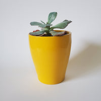 Yellow Pot Succulent