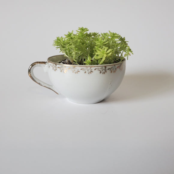 White and Gold Teacup Succulent