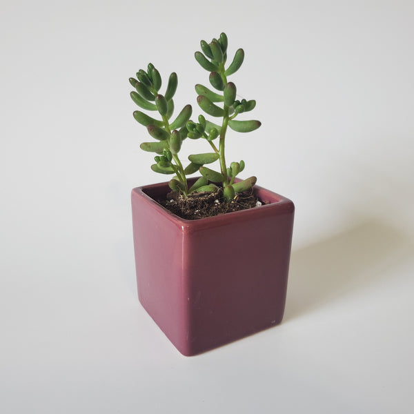 Square Planter Succulent