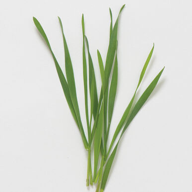 Microgreen - Wheatgrass
