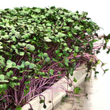Microgreen -  Red Cabbage