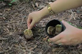 hands putting teabags into soil