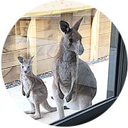 Kangaroos at Jervis Bay