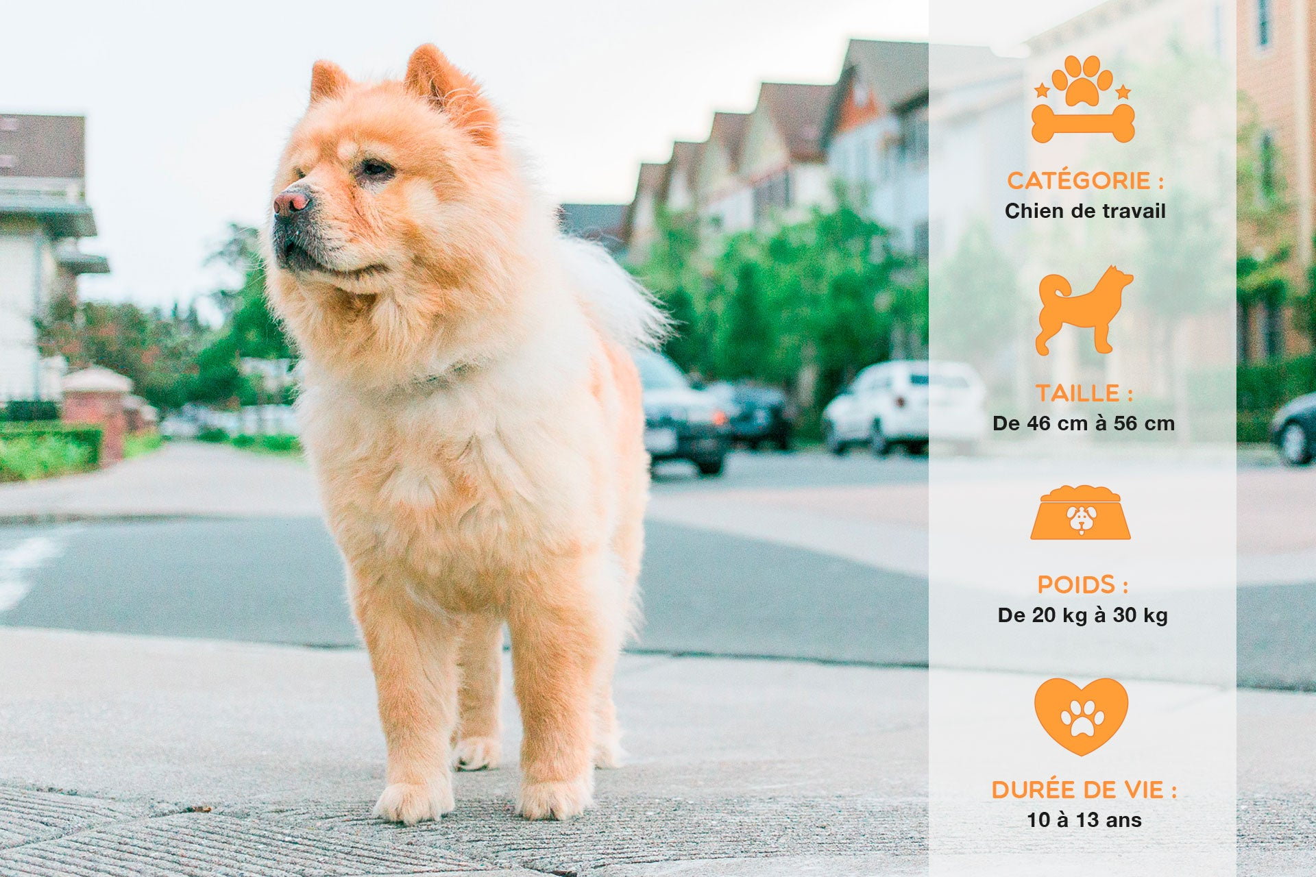 Chow chow caractère