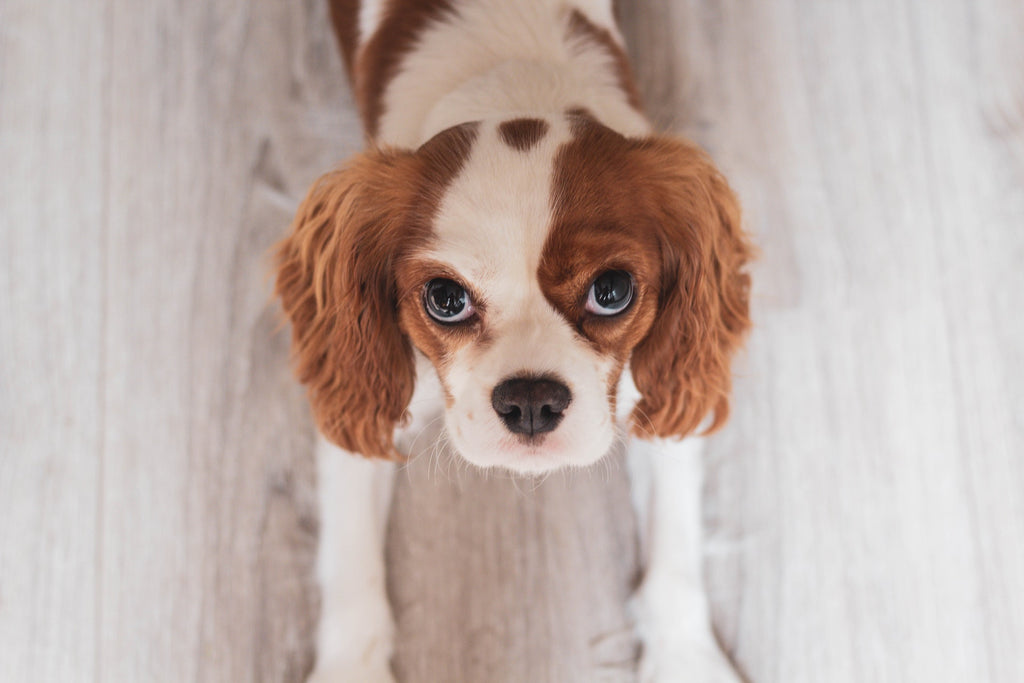 cavalier king charles affectueux