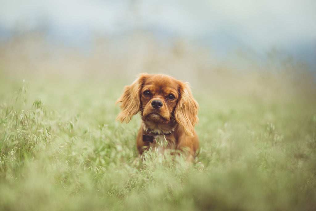 Cavalier king charles caractère