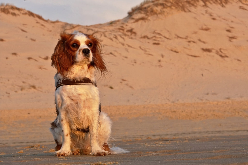 cavalier king charles histoire