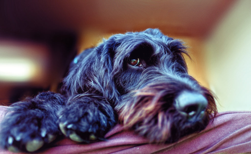 Labradoodle caractere