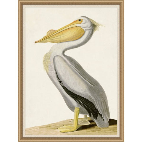 Audubons White Pelican - Wendover Art Group