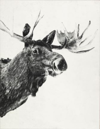 Tylinek Moose - Natural Curiosities