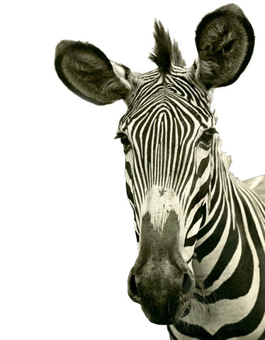 Tylinek Zebra - Natural Curiosities