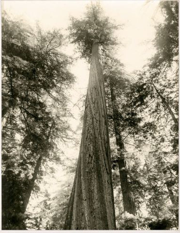Redwood 2- Natural Curiosities