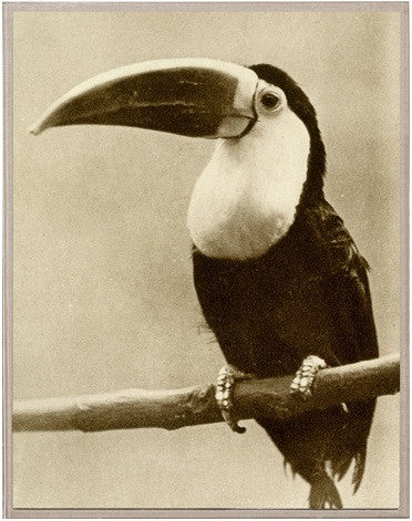 Thinking Toucan - Natural Curiosities