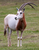Scimitar-Horned Oryx - All Inclusive