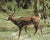 1 Exotic: Choose from Axis buck, Fallow buck, blackbuck - All trophy quality -